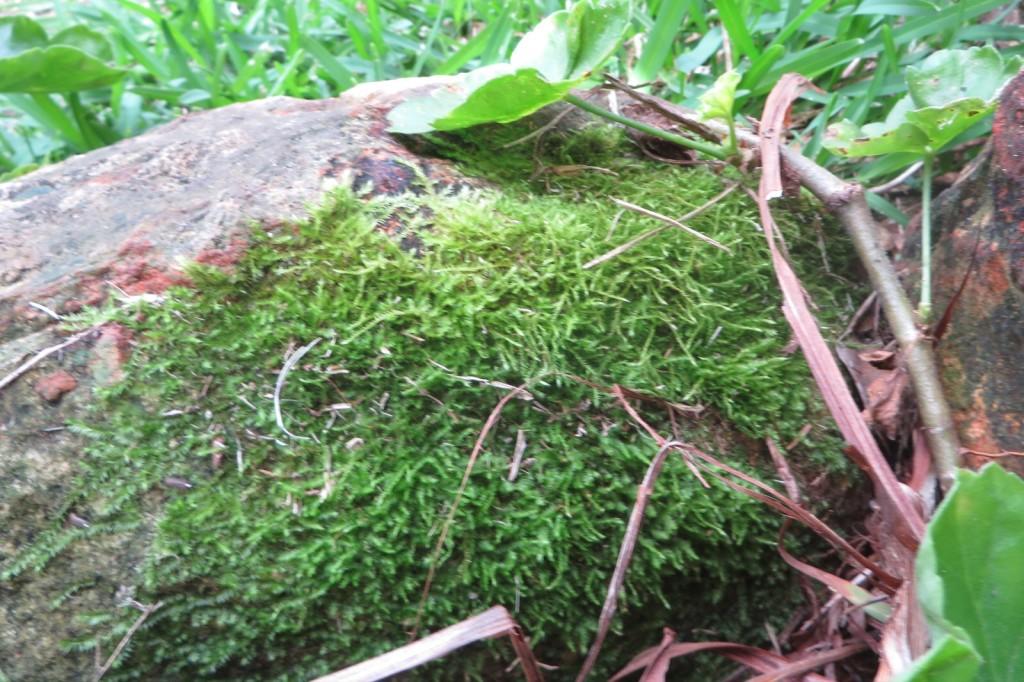 Moss on a rock on the garden edge
