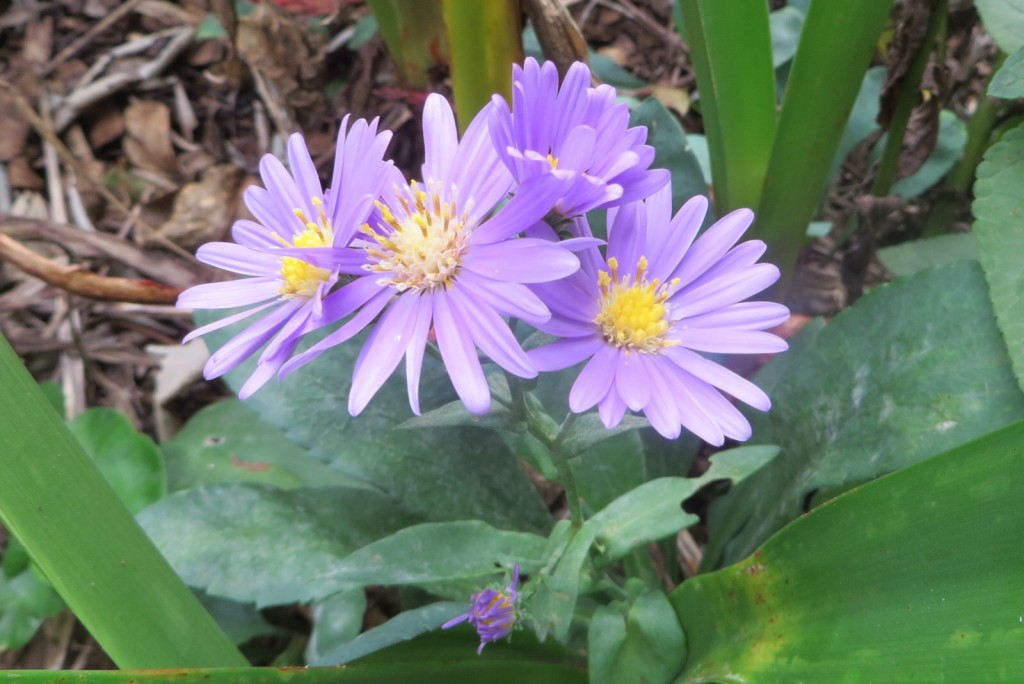 Perennial Aster